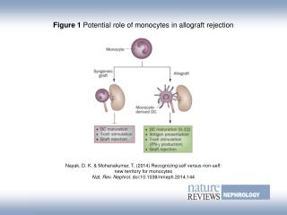 Figure 1  Potential role of monocytes in allograft rejection