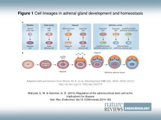 Figure 1  Cell lineages in adrenal gland development and homeostasis