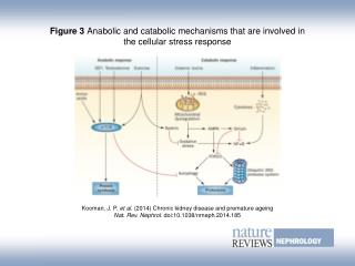 Figure 3  Anabolic and catabolic mechanisms that are involved in the cellular stress response