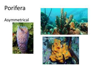 Porifera Asymmetrical