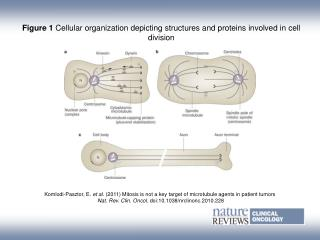 Figure 1  Cellular organization depicting structures and proteins involved in cell division