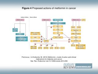 Figure 4  Proposed actions of metformin in cancer