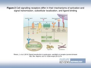 Reiser, J.  et al. (2014)  Signal transduction in podocytes—spotlight on receptor tyrosine kinases