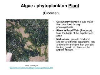 Algae / phytoplankton Plant (Producer)