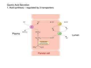 Gastric Acid Secretion 1. Acid synthesis � regulated by 3 transporters