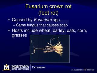 Fusarium crown rot foot rot