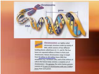 Each of the  46 chromosomes  of humans is made up of single molecule of double-stranded DNA