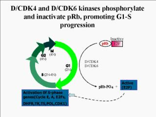 Activation 0f S-phase genes(Cycle E, A, E2Fs, DHFR,TK,TS,POL,CDK1)