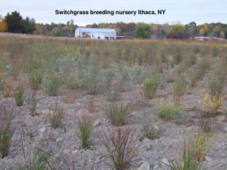 Switchgrass breeding nursery Ithaca, NY
