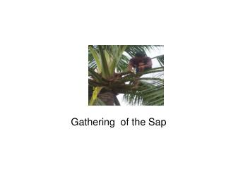 Gathering  of the Sap