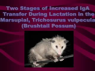 Two Stages of Increased IgA  Transfer During Lactation in the Marsupial, Trichosurus vulpecula