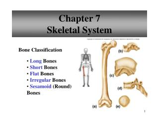 Chapter 7 Skeletal System