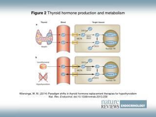 Figure 2  Thyroid hormone production and metabolism