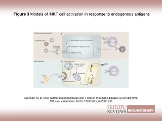 Figure 3  Models of  i NKT cell activation in response to endogenous antigens