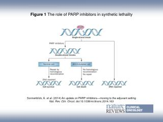 Figure 1  The role of PARP inhibitors in synthetic lethality