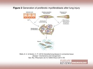 Figure 2  Generation of profibrotic myofibroblasts after lung injury