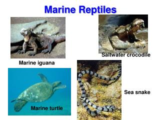 Marine turtle