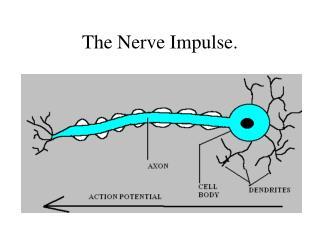 The Nerve Impulse.