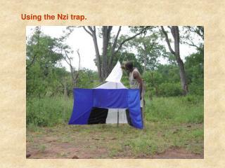 Using the Nzi trap.