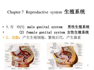 Chapter 7  Reproductive  system   生殖系统