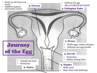 1. Ovary