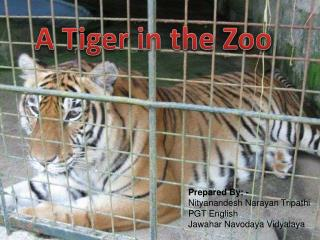 A Tiger in the Zoo