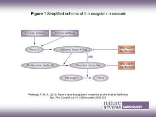 Figure 1  Simplified schema of the coagulation cascade