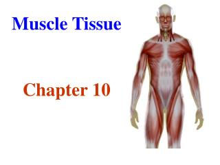 Muscle Tissue Chapter 10