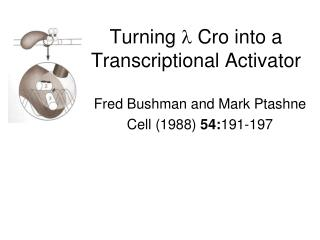 Turning    Cro into a Transcriptional Activator