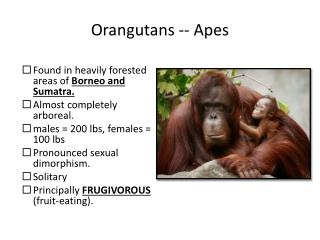 Orangutans -- Apes