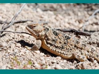 WILD ABOUT BANDELIER SHORT HORNED LIZARD