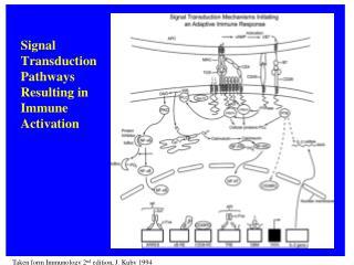 Taken form  Immunology  2 nd  edition, J. Kuby 1994