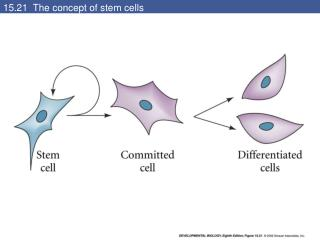 15.21  The concept of stem cells