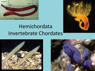 Hemichordata Invertebrate Chordates