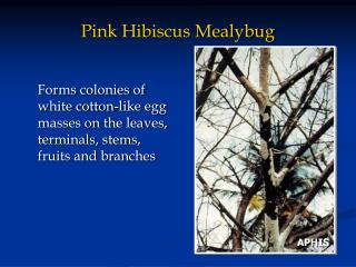 Pink Hibiscus Mealybug