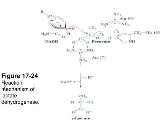 Figure 17-24 Reaction mechanism of lactate dehydrogenase.