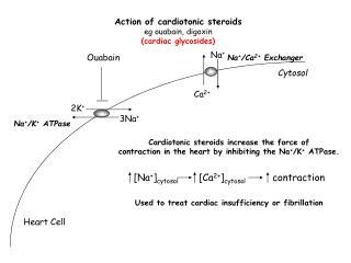 Action of cardiotonic steroids eg ouabain, digoxin (cardiac glycosides)