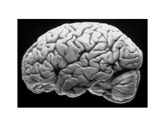 Cortex:  Cingulate Gyrus, Precentral Gyrus, Postcentral Gyrus, Primary Visual Cortex