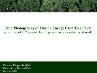 Field Photography of Florida Energy Crop Tree Farm