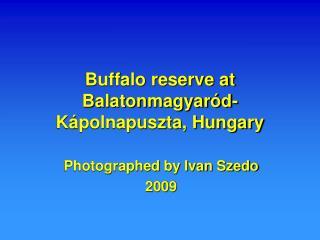 Buffalo reserve at Balatonmagyaród-Kápolnapuszta, Hungary