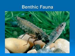 Benthic Fauna