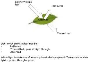 Light which strikes a leaf may be :-   Reflected   Transmitted   pass straight through   Absorbed  White light is a mixt