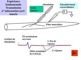 Expérience fondamentale Transmission d'information nerf-muscle
