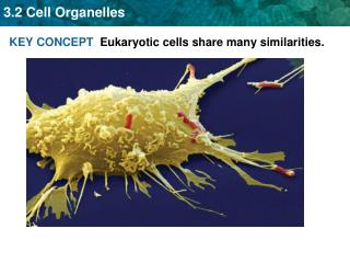 KEY CONCEPT   Eukaryotic cells share many similarities.