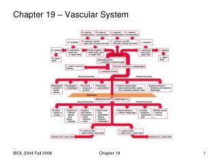 Chapter 19 – Vascular System