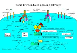Some TNF a  induced signaling pathways