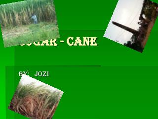 Sugar - cane