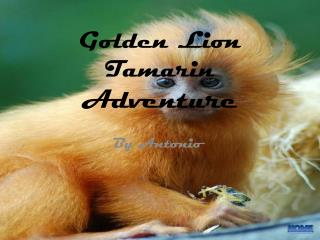 Golden Lion Tamarin  Adventure