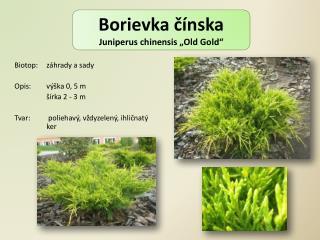 """Borievka čínska Juniperus chinensis  """" Old Gold """""""