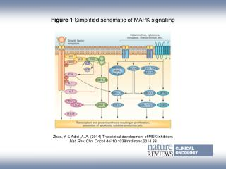 Figure 1  Simplified schematic of MAPK signalling
